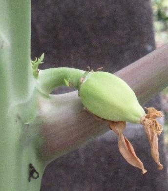 Papaya_3_2